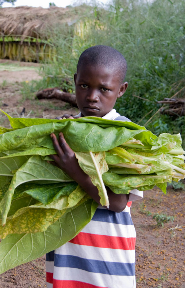 child labour on tobacco plantations a Discusses child labour on malawi's tea and tobacco plantations to determine how those activities viewed in light of children's specific situations, may or may not violate children's rights.